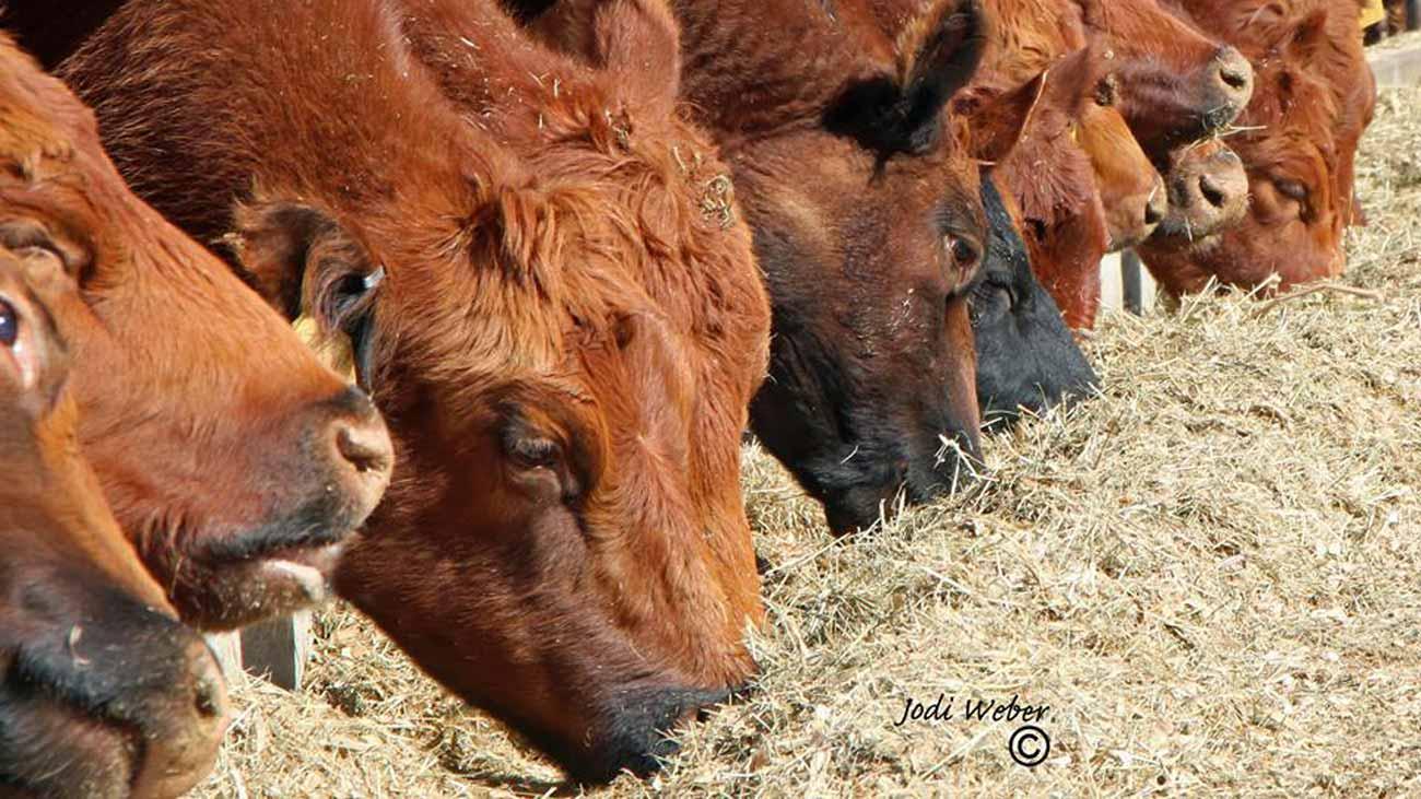 cattlemen amp amp